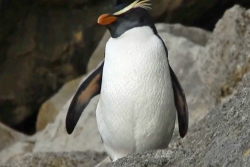 New Zealand penguin colonies and species - fiordland crested penguin
