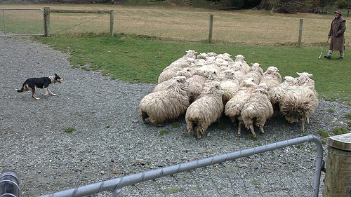 Walter Peak Sheep roundup