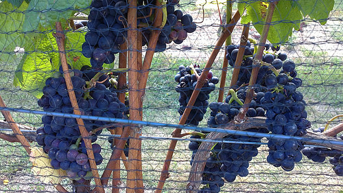 Martinborough grapes