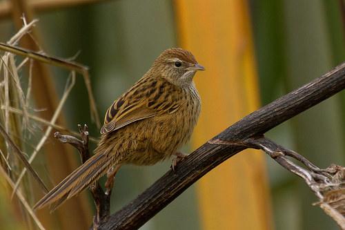 Fernbird by Glenda Rees