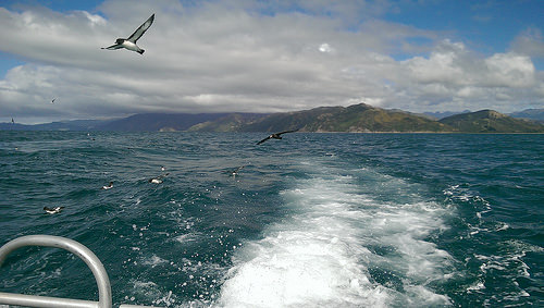 Dolphin Encounter Albatross Tour Kaikoura Petrels