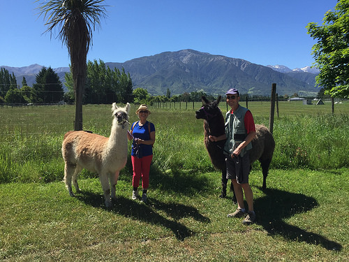 Llama Trek in Kaikoura New Zealand