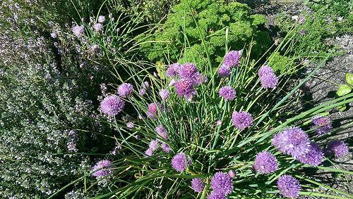 Tasman Village Cottage Herb Garden