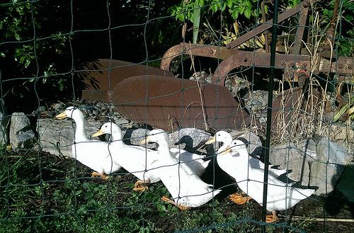 Barnicoat Vineyard Geese
