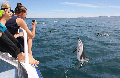 Kaikoura Dolphins2