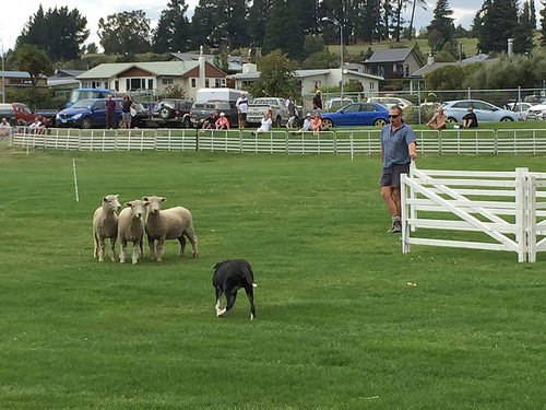Wanaka A & P Show dog trial