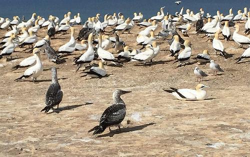 gannet beach tour colony