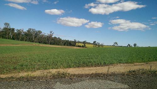 Australian Sugar Cane Plants