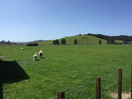 Coromandel sheep