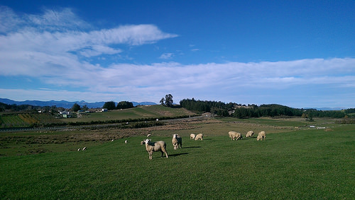 Tasman Village sheep2