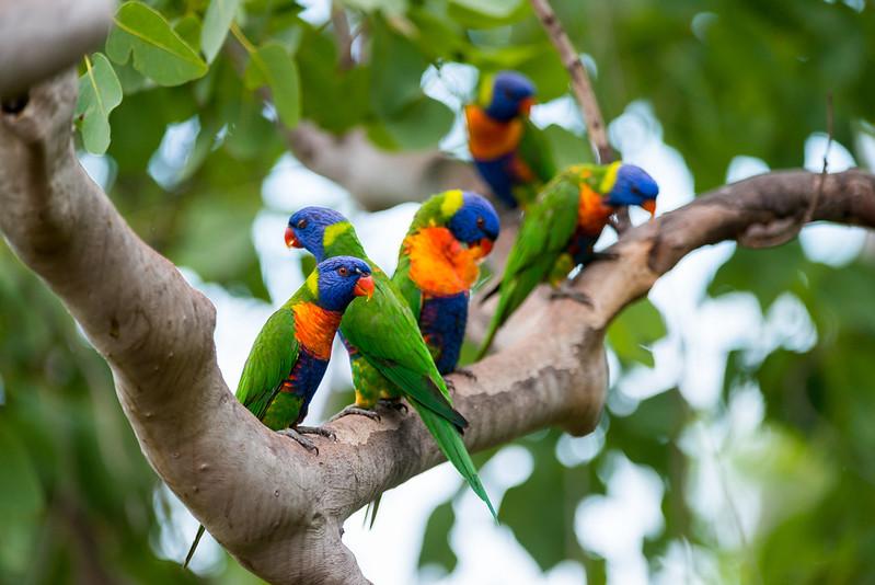Colourful birds in Australia