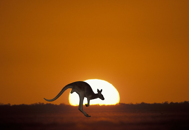 Australian Kangaroo at sunset